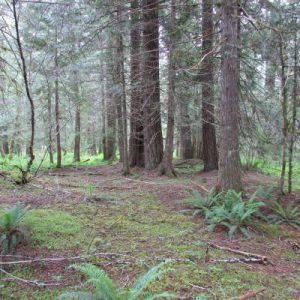 ds-photo-11-mature-fir-cedar
