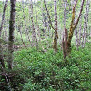 ds-photo-3-red-alder-salmonberry